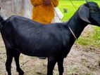 Goat black colour female 1 years age