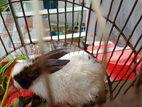 Rabbit খরগোশ বিক্রি