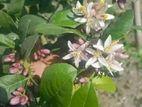 হাজারি চায়না ৩ বারমাসি লেবু