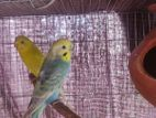 1 pair running budgie for sell
