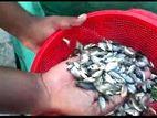 মনোসেক্স তেলাপিয়া মাছ