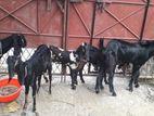Indian Rajostan Goat