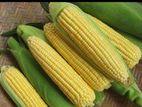 Sweet Corn Seeds (Hybrid F1)