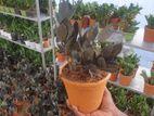 জিজি প্লান্ট(ব্ল্যাক) Black Zz Plants