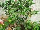 Thai Lemon (Marketed by Family Agro )