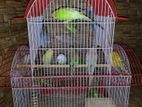 All adults male and female budgies