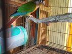 conure running male