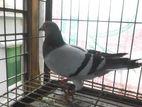 Racer pigeon