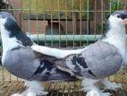 Bluebar lahori breeding pair