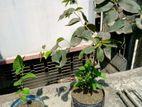 ব্লাকবেরি প্লাস সাদা জাম থাই কলবের,গাছ দুটি কলবের