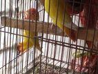 3 pis love bird 1pis budgerigar