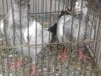 Saharanpuri pigeon