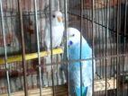 Budgerigar & Dove (Combo Sell)