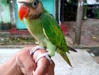 perrot baby