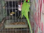 Indian ring net breeding parrot