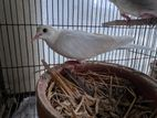 Australia white dove FEMALE
