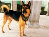 German shepherd male dog