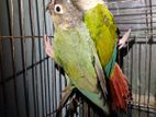 Conure new adult pair