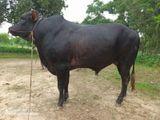 Cow No : 31