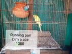 Running 2 pair Bazrika Bird for sell ...