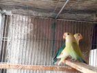 love bird baby sale