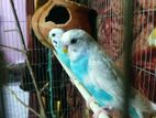 2 pairs of adult Budgerigar parakeet with full accessories for sale