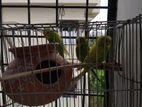 3 ta budgeriger pakhi(duita male ekta female)