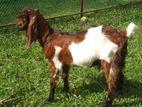 Tutapuri goat