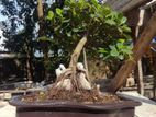 China bot bonsai(root over rock style)