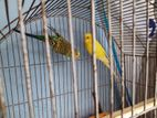 01 adult pair Budgerigar Bird want to sale