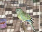 Rumped Parrot Female