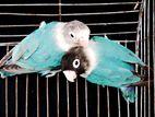 Lovebird Running pair