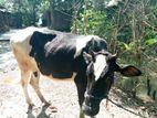 বিক্রয় হবে Cow