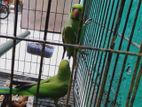 Indian ringneck breeding pair hatbodol hoba
