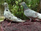 Recer homa male+giribaz female